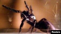 Laba-laba di sebuah proyek penelitian di Museum Australia di Sydney.