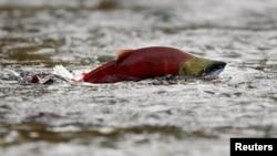 Un salmón rojo salta en las aguas poco profundas del río Adams en la Columbia Británica, Canadá.