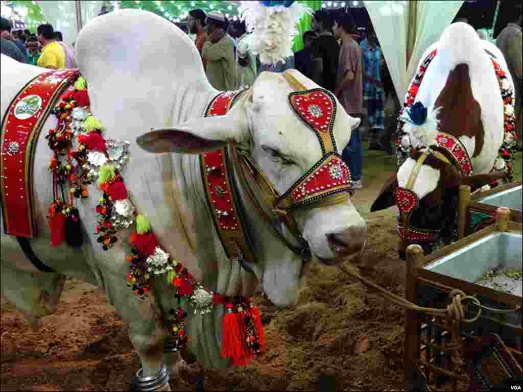 کراچی میں رواں ہفتے شروع ہونےوالی اس مویشی منڈی میں جانوروں کے اسٹال سج گئے ہیں