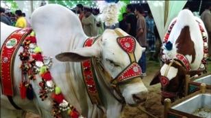 کراچی: عید قرباں کیلئے مویشی منڈی