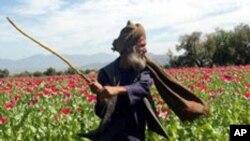 سروی تازه: ۸ در صد مردم افغانستان معتاد به مواد مخدر هستند