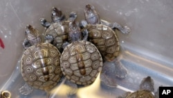 斑紋龜(資料照片)