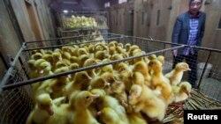 Seorang peternak bebek di sebuah ruang penetasan telur bebek di pasar perdagangan telur unggas di kota Wuzhen, Tongxiang, provinsi Zhejiang (Foto: dok). Pihak berwenang China telah melarang pejualan unggas hidup di China timur, setelah jumlah orang yang terinfeksi flu burung jenis H7N9 meningkat di wilayah itu.