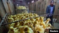 Korea Selatan telah menghentikan impor seluruh unggas dan produk unggas dari Amerika karena mewabahnya flu burung di sebuah peternakan ayam di negara bagian Oregon. (Foto: dok.)