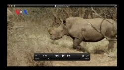 Saving South Africa's Rhinos (VOA On Assignment Feb. 7, 2014)