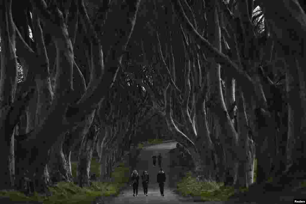 پارک Dark Hedges در شهرک بالمونی در ایرلند شمالی.