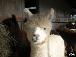 An alpaca at Sugarloaf Farm in Adamstown, Maryland. (J. Taboh/VOA)
