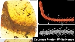 A dinosaur's tail preserved in amber was discovered in Myanmar.