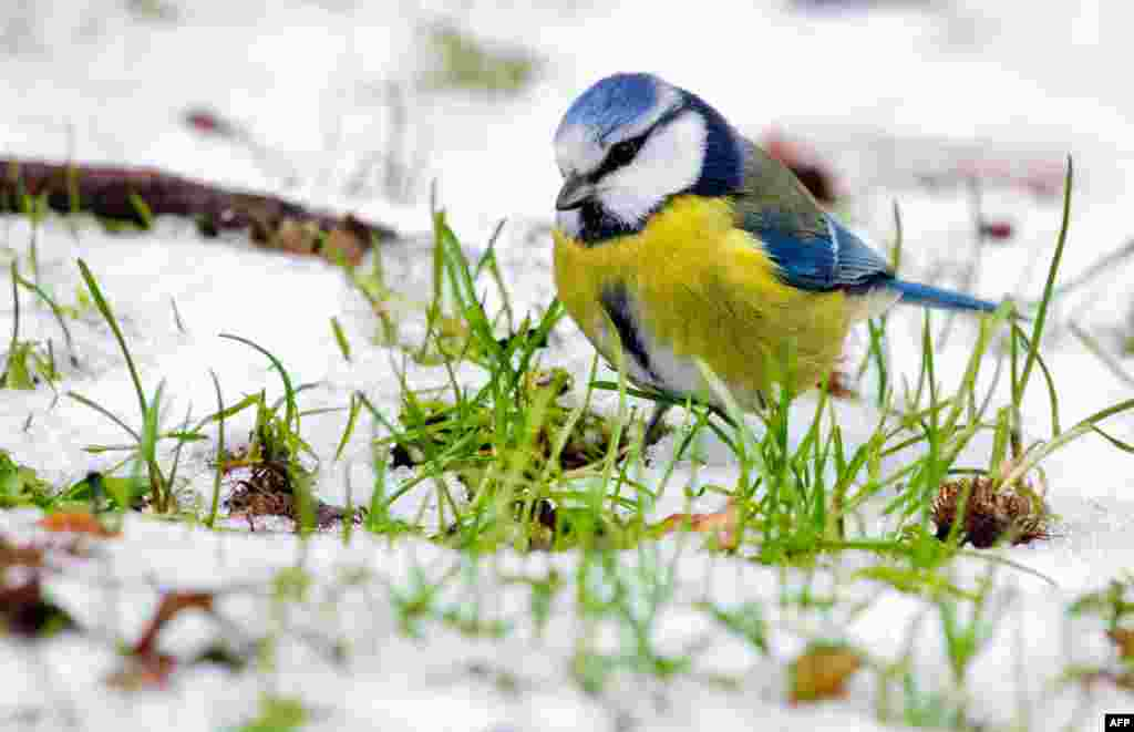 A blue tit searches for food in the snow near Pattensen, central Germany.