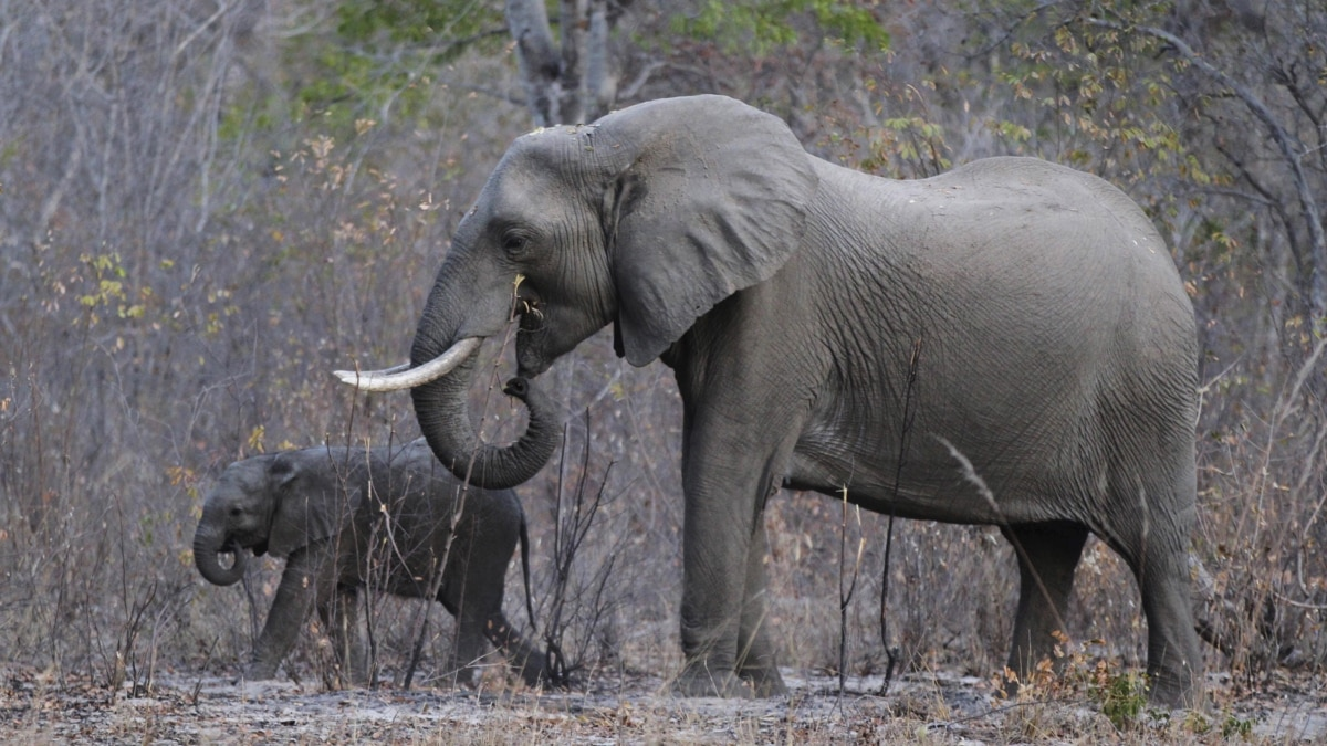 MDC-T Condemns Zimbabwe Plans to Sell More Elephants to China