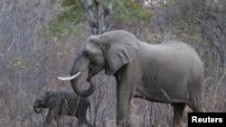 FILE - Elephants graze inside Zimbabwe's Hwange National Park, Aug. 1, 2015.