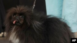 Wild Thang, a Pekingese, stands on stage during the World's Ugliest Dog Contest