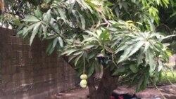 Covid 19 ani mangoro feereli kokan jamanaw la