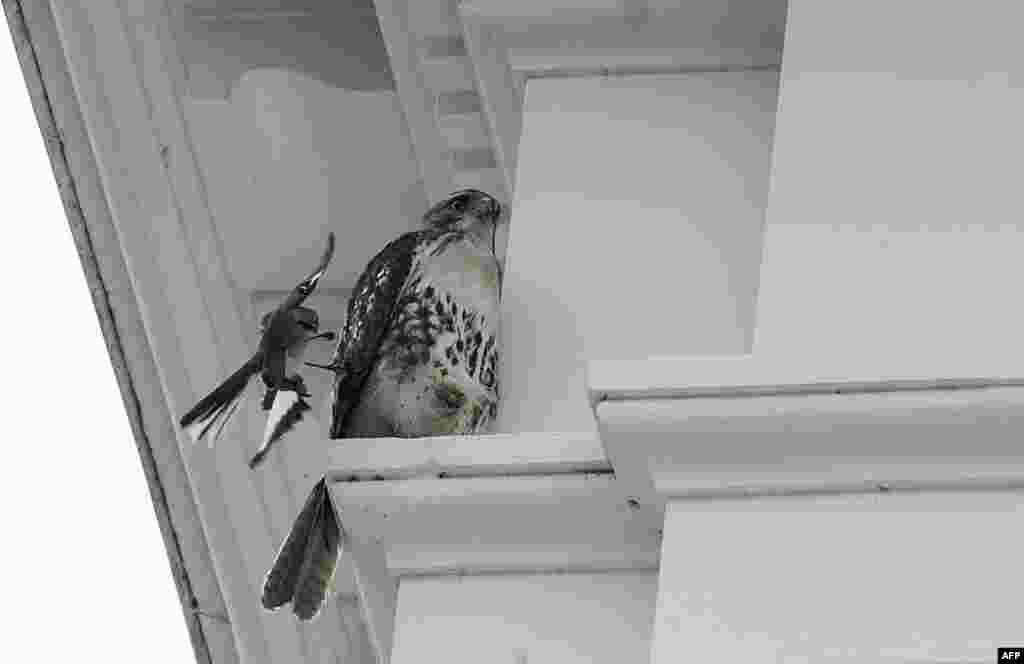 A mockingbird (L) attacks a hawk sitting on a ledge of the White House in Washington, D.C.