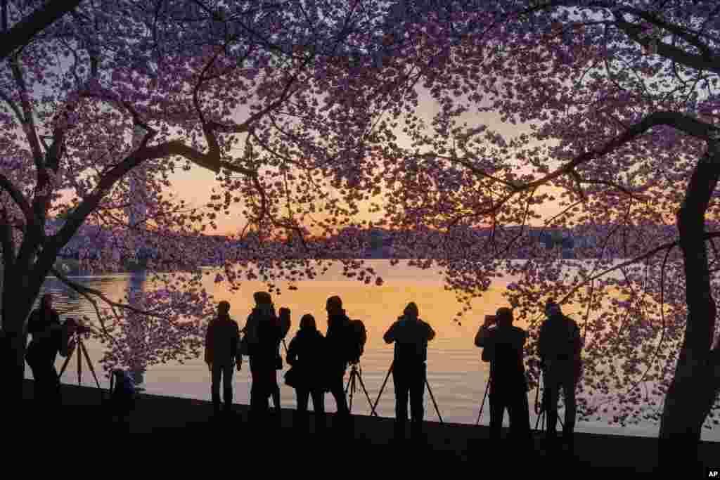 2018年4月5日,日出時,攝影者在華盛頓潮汐湖畔列隊,拍攝天光湖色,花樹婆娑。