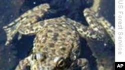 濒临灭绝青蛙两度露面科研人员大喜