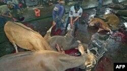Công nhân kéo một con bò sau khi nó bị giết tại một lò giết mổ gia súc ở Makassar trong tỉnh Nam Sulawesi, Indonesia, ngày 1/6/2011. Các đoạn phim trên TV cho thấy các con vật bị đánh đập, móc mắt và cắt xẻo trước khi giết ở một số lò giết mổ gia súc ở Indonesia. (Ảnh tư liệu).