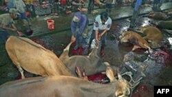 Công nhân kéo một con bò sau khi nó bị giết mổ tại một lò giết mổ gia sức ở Makassar trong tỉnh Nam Sulawesi, Indonesia, ngày 1/6/2011. Các đoạn phim trên TV cho thấy các con vật bị đánh đập, móc mắt và cắt xẻo trước khi giết ở một số lò giết mổ gia súc c