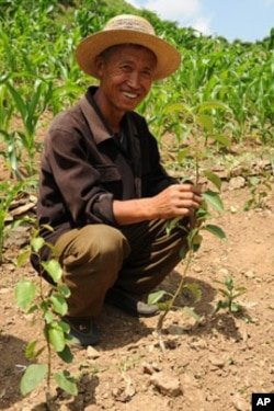 A North Korean man shows off a grafted pear seeding.
