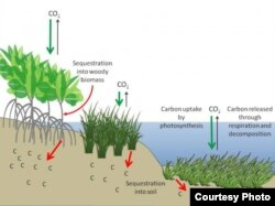 Illustration of how coastal wetlands serve as reservoirs for carbon. Credit: Howard et al., 2017