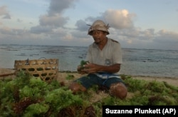 Seaweed farmer in Bali, Indonesia rinses the day's crops.