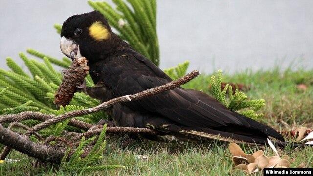 Seekor burung kakaktua hitam berekor kuning betina (Yellow-tailed Black Cockatoo) di Australia (Foto: dok). Burung langka ini ternasuk salah satu binatang yang dinyatakan hilang dari kebun binatang Australia dalam aksi pengrusakan, Jum'at (3/8).