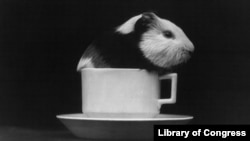 Guinea pigs have long been used in scientific research and in our everyday conversations. Why this one is in a tea cup ... is a really good question.