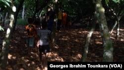 Dans une plantation de cacao à Daloa dans le centre ouest de la Cote d'Ivoire, le 3 janvier 2010. (VOA/Georges Ibrahim Tounkara)