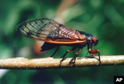 Чи цикади «скоїли атаки»?