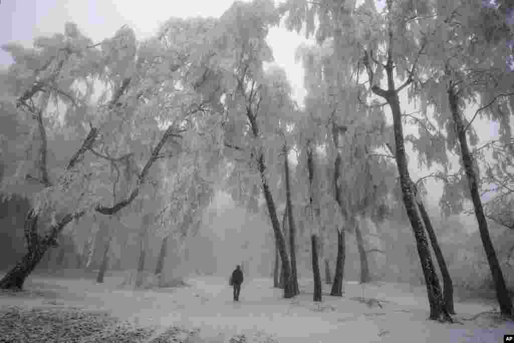 A man walks under trees covered with hoar-frost on Galyateto Mountain, Hungary.