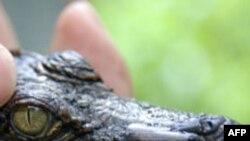 Nông dân Việt Nam nuôi cá sấu trong nhà vì lũ lụt