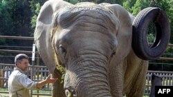 Voi Maggie, 25 tuổi được nuôi trong sở thú ở Anchorage 24 năm, đã được chuyển đến một chổ ở ấm áp hơn trong bang California