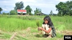 ເດັກນ້ອຍຄົນໜຶ່ງໃນແຂວງ Kampot, ປະເທດ ກຳປູເຈຍ ຊ່ວຍເຫຼືອຄອບຄົວຂອງລາວຢູ່ທົ່ງນາ. 10 ສິງຫາ, 2016.