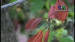 Sonhabarda Yapraklar Neden Renk Değiştirir?