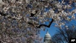 Pohon sakura yang sedang mekar di National Mall dekat Capitol di Washington, DC. (Foto: Dok)