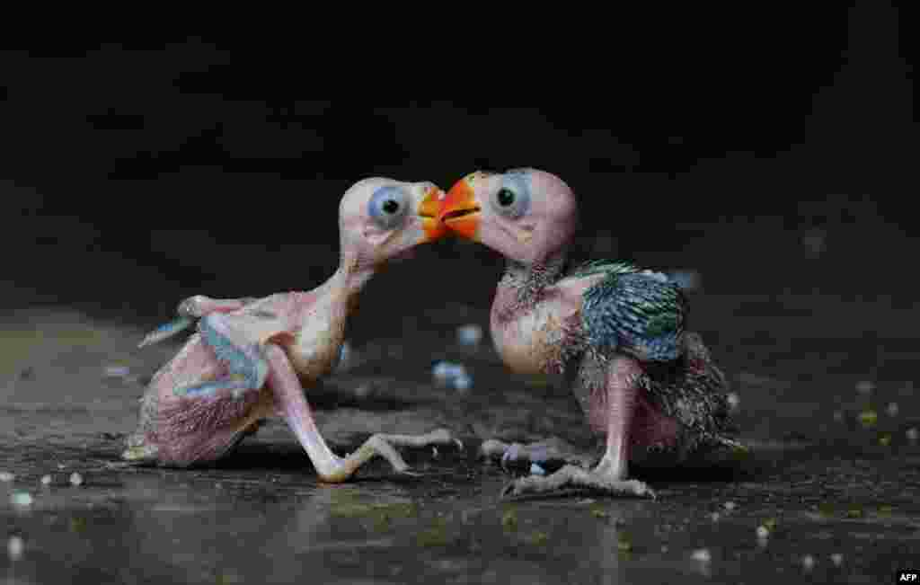 A pair of parrot hatchlings embrace in Dimapur, July 24, 2013, after being caught in a forest by a local hunter and offered for sale in the north-eastern Indian state of Nagaland. Despite a ban since 1990-91 on trade in all India bird species, hundreds of parrots are collected and traded annually in India.