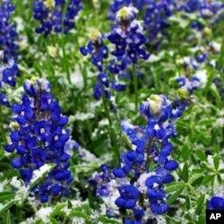 德克萨斯州花矢车菊