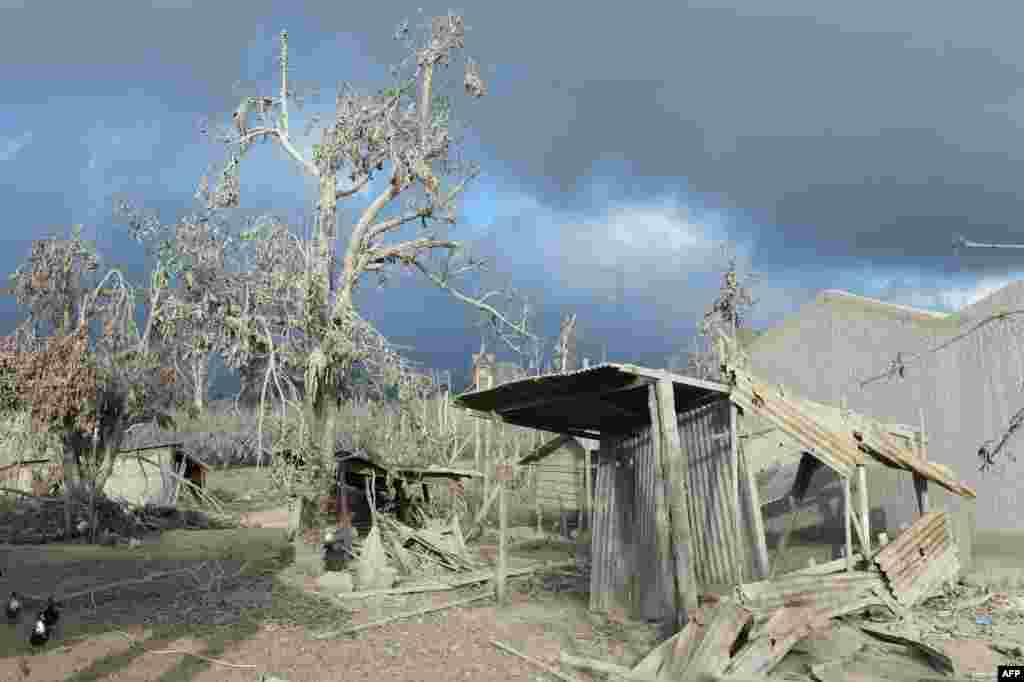 Debris and trees covered with dust after volcanic eruptions from Mount Sinabung at the abandoned village Kutarayat in Karo, Indonesia. More than 30,000 people have been displaced and as many as 16 people have been killed as Mount Sinabung continues spewing smoke and hot ash.