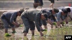 지난 12일 북한 청산리 주민들이 모내기를 하고 있다.