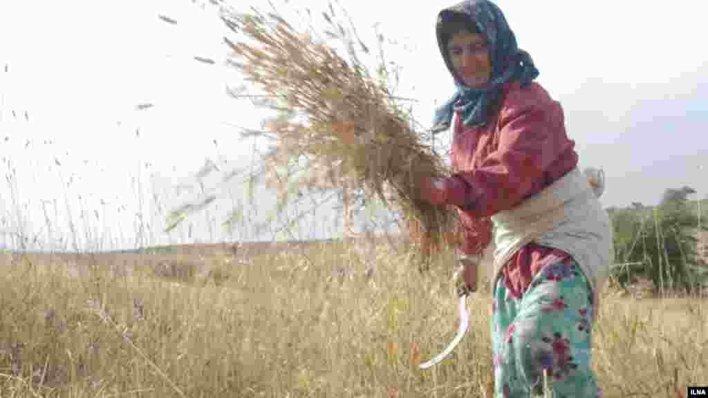 زن روستایی در مزرعه گندم، رودبار، استان گیلان. عکس: ابوذر حمیدی، ایلنا