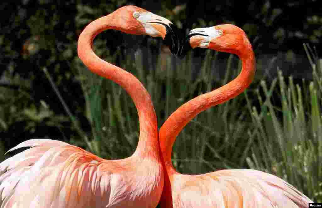 Madrid hayvanat bahçesinde pembe flamingolar böyle görüntülenmiş.