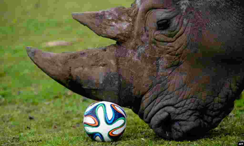 A rhinoceros plays with a football in his enclosure at the Serengeti Park in Hodenhagen, central Germany, April 13, 2014.