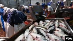 在北海道根室一个渔业加工厂,外籍劳工门正在剖解三文鱼,准备腌制(美国之音 歌篮)