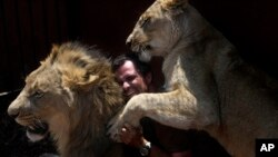 Kevin Richardson, yang juga dikenal sebagai 'Pembisik Singa' bermain-main dengan singa jantan dan betina di taman satwa singa dekat Johannesburg, Afrika Selatan (foto: dok).