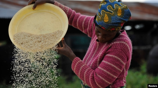 (File) A woman works at a rice mill in Nigeria. Thirty million tons of rice are consumed on the continent, but the majority of that is imported from Asian countries.