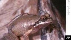 Des amphibiens sécrètent par leur peau des substances antimicrobiennes appelées peptides