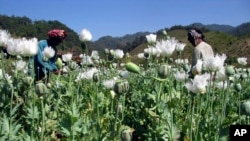 FILE - Villagers harvest opium in a field in Burma's Shan state. Researchers say the precursor chemicals needed to manufacture opiates and methamphetamines are streaming into Southeast Asia.