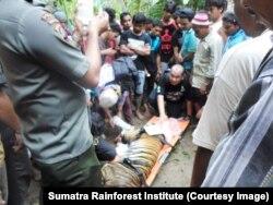 Upaya evakuasi harimau yang terkena perangkap warga. (Foto: Sumatra Rainforest Institute)