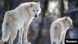 قطبی علاقے کے بھیڑیے۔ فائل فوٹو