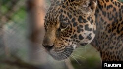 Tania, a female jaguar brought up in a zoo, is seen in her enclosure at the Impenetrable National Park, in the Chaco Province, Argentina February 29, 2020. (Rewilding Argentina/Handout via REUTERS)